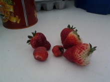 First of the strawberries harvested