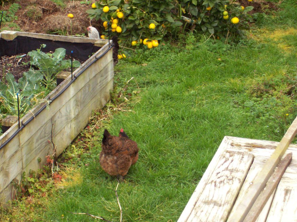 Mother Hen rummaging in the grass
