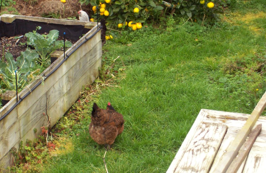 So How Many Chickens Can You Keep in Auckland? – Talking Southern ...