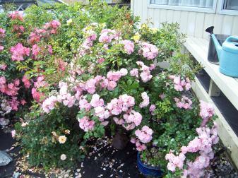 Summer Roses bloom under way