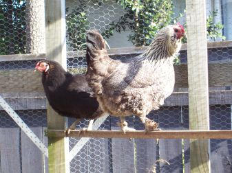 Blackie and Colonel Hogan 2 of our 4 egg laying Hens