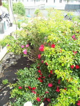 Roses going into full Summer bloom